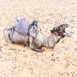 Camel in Moroccan Sahara Desert. Animal, sand, grey, funny, africa, travel, tourist, trip, mouth, teeth royalty free stock image