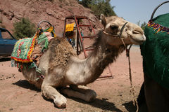 Camel in Morocco Royalty Free Stock Photography