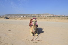 Camel in morocco. Beautiful camel in Taghazout, Morocco on a parking lot stock images