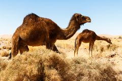 Camel in the desert in Morocco stock photography