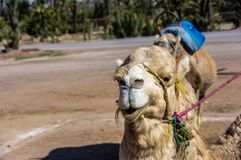 Camel from Morocco. Stock Photography