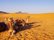 Camel in Morocco Royalty Free Stock Images