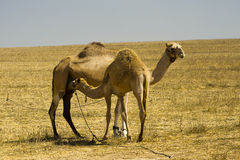 Camel mother breastfeeding. A grownup baby stock image
