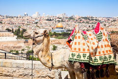 Camel on Mount of Olives , Jerusalem, Israel Stock Images