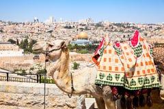 Camel on Mount of Olives , Jerusalem, Israel Stock Images