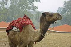 Camel with mount for riders Royalty Free Stock Photos