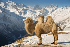 Camel in the mountains Royalty Free Stock Image