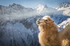 Camel in the mountains Stock Image