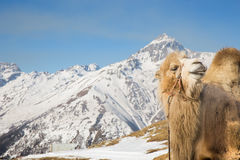 Camel in the mountains Stock Photography