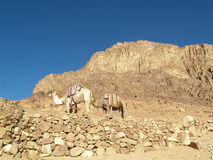 Camel on mountian of Moses. Two camel on mountian of Moses - Sinai Peninsula Stock Photos