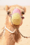 A camel with a mouth cover in a bedouin settlement in the Dubai desert - UAE Stock Images