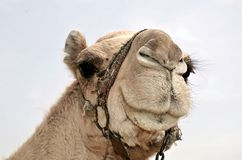Camel Mouth Royalty Free Stock Photo