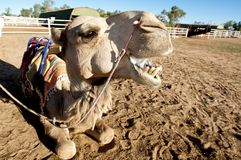 Camel with mouth open. Camel looking up at camera Stock Images