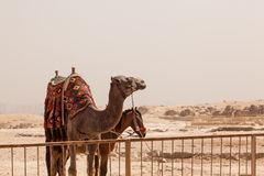 Camel and mule or horse for tourists by pyramids Stock Photo