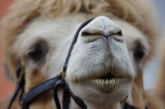 Camel muzzle royalty free stock photography