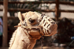 Camel with muzzle Royalty Free Stock Photos