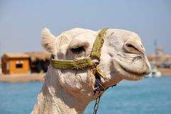 Camel muzzle. Portrait of a white camel close up. Egypt, sunny summer day. stock photography
