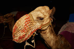 Camel in a muzzle Stock Images