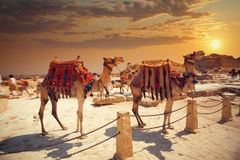 Camel near of great pyramid in egypt Stock Photos
