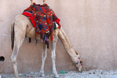 Camel near Petra Royalty Free Stock Images