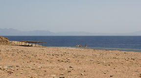 Camel near the sea Royalty Free Stock Image