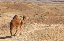 Camel in the Negev desert Stock Photos