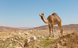 camel in the Negev desert Stock Photo