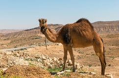 camel in the Negev desert Royalty Free Stock Photo
