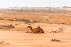 Camel with the newborn baby in the desert Stock Photo