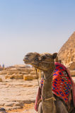 Camel next to pyramid in Giza, Cairo Royalty Free Stock Photo