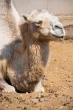 Camel Royalty Free Stock Image