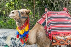 Camel nicely dressed. In colors Royalty Free Stock Photography