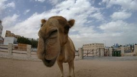 Camel nose close up. For a kiss in Doha city, near Souq Waqif, the old market in Qatar. Tourist attraction in Middle East, Arabian Peninsula. Sunny day blue sky stock video footage