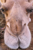Camel nose and lips Royalty Free Stock Photos
