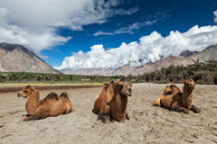 Camel in Nubra valley, Ladakh. Bactrian camels in Himalayas. Hunder village, Nubra Valley, Ladakh, Jammu and Kashmir, India Royalty Free Stock Image