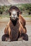 Camel in Nubra valley, Ladakh Royalty Free Stock Photo