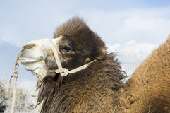 Camel in Nubra valley, Leh Stock Photo