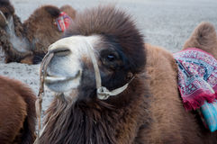 Camel in Nubra valley, Leh Stock Images