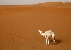 Camel. One camel in the desert of Morocco Royalty Free Stock Photography