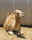 A camel with one hump Stock Photo