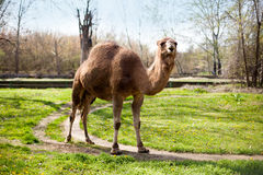 Camel with one hump in the zoo. One hump camel standing on the grass in the zoo Stock Photos