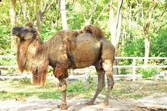 The Camel on the Open Zoo stock photography