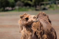 Camel in outback Australia. Royalty Free Stock Photo