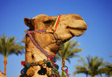 Camel over the blue sky Stock Photos
