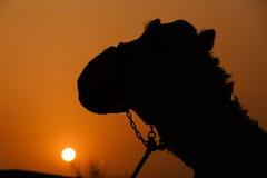 Camel over sunset in desert Royalty Free Stock Photo