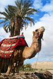 Camel and Palm Tree Royalty Free Stock Photo