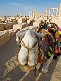 Camel in Palmyra Stock Photography