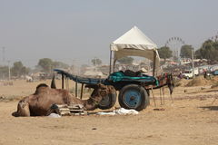 Camel parked in Pushkar Royalty Free Stock Photography