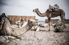 Camel parking Royalty Free Stock Photos