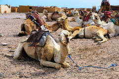 Camel parking Royalty Free Stock Image